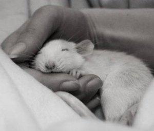 лабораторная крыска