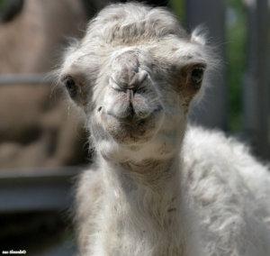 Хочу декоративного верблюдика