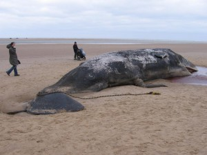Beached-sperm-whale-Norfolk-0402140407B5C879